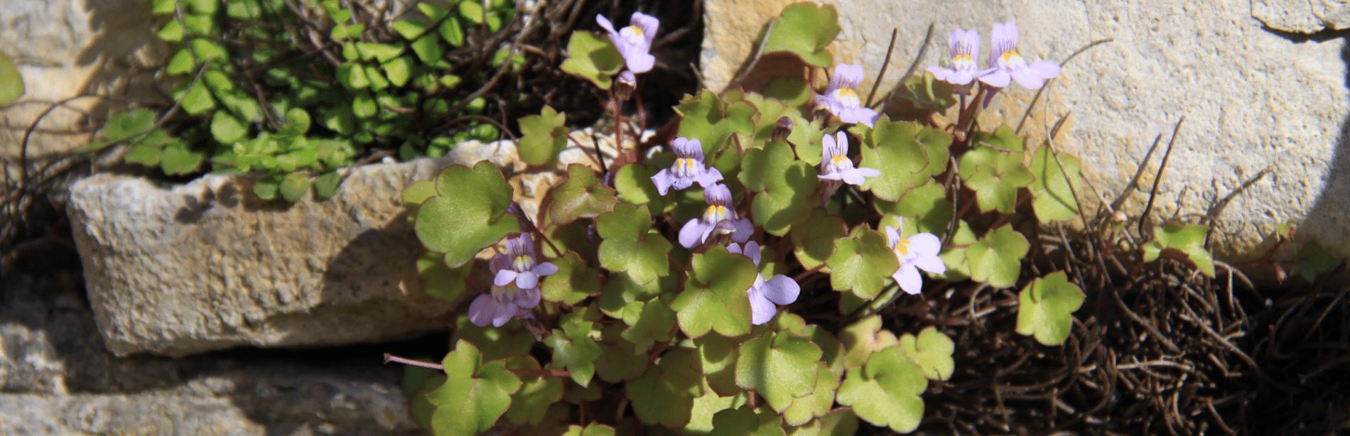 Plantes méditerranéen dans les gorges de Labeaume en Ardèche